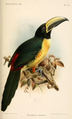 Lettered Aracari (Pteroglossus didymus) - Catalogue of the Birds in the British Museum