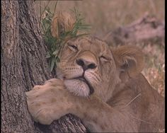A lioness rests in the Kenyan heat. Watch safari footage here: http://www.britishpathe.com/video/kenya-safari