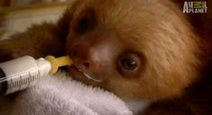This very hungry baby sloth(Gif) Cute Baby Sloths, Cute Sloth, Funny Sloth, Sloth Memes, Baby Otters, Baby Animals, Funny Animals, Cute Animals, Wild Animals