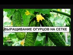 Выращиваем огурцы на сетке - YouTube