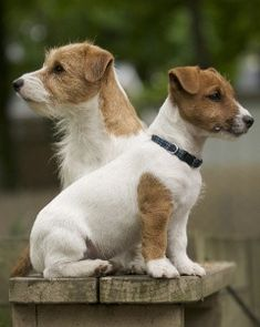I want a long hair long leg jack russel, rat terrier, beagle, Boston terrier… Jack Russell Terriers, Jack Russell Dogs, Pet Dogs, Dogs And Puppies, Dog Cat, Doggies, Maltese Puppies, Chihuahua Dogs, Cute Dogs Breeds