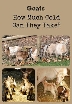 Find out how much cold goats can take via the Better Hens and Gardens post.