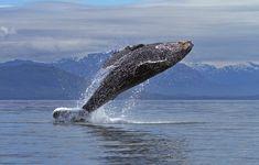 ¿Vuelan las ballenas jorobadas? Sólo para jugar  Estas imágenes parecen demostrar que pueden hacerlo, pese a sus más de 30 toneladas de peso.