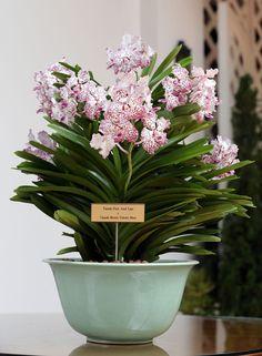 orchidee vanda charlotte