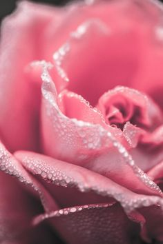 Pink rose close up flower photography