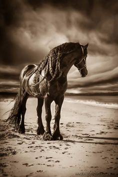 Danielle Leslie • Australia, horse, hest, black beauty, cloudy sky, beach, sand, spor, animal, beautiful, gorgeous, photograph, photo, sapira