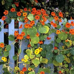 nasturtium Source by ccedjo Fall Wedding Flowers, Outdoor Plants, Garden Styles, Nature Photos, Trees To Plant, Shrubs, Terrazzo, Flower Power, Beautiful Pictures