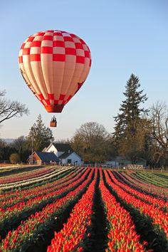 Hot air balloons at Wooden Shoe Tulip festival, Oregon. Photo: B. Flying Balloon, Balloon Rides, Air Ballon, Hot Air Balloon, Tulip Colors, Tulip Festival, Purple Tulips, Wedding Balloons, Confetti Balloons