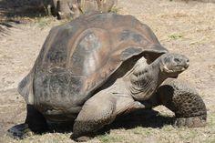 World's Biggest Tortoise – the Galapagos Tortoise, Image Credit: Mfield, Matthew Field via Wikimedia Commons.
