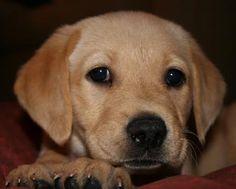 Tika Golden Labrador Puppy