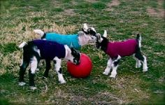 Sweater pattern for baby goats to knit, crochet, or machine knit