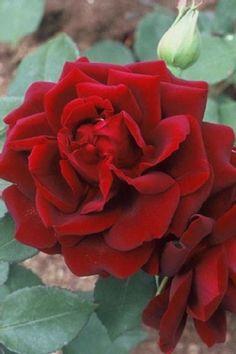 ~Rosa 'Louis XIV' - Rose 'louis, Rosier, Rosier' louis' Rose | All plants with Florum