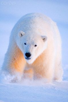 Polar bear, Ursus maritimus, young bear travels across newly formed pack ice during fall freeze up, off the 1002 area of the Arctic National. Animals Beautiful, Cute Animals, Arctic Circle, Polar Bears, My Animal, Animal Kingdom, Mammals, All Gods Creatures, Wildlife