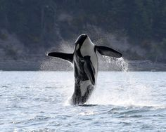 Vancouver photographer Mark Malleson took this photograph of the Southern Resident killer whale known as or Doublestuf, breaching while he was in the interior waters of the Salish Sea this spring. Beautiful Creatures, Animals Beautiful, Cute Animals, Orcas, Wale, Ocean Creatures, Mundo Animal, Killer Whales, Ocean Life