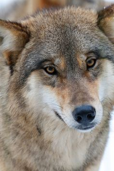 Wolf, By nimble.lynx Frogs are cool.k wild animal Extraordinary Photographs of Animals Inside th. Wolf Spirit, My Spirit Animal, Beautiful Creatures, Animals Beautiful, Malamute, Wolf Husky, Wolf Love, Wolf Pictures, Wild Wolf