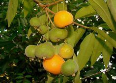 10 frutas nativas brasileiras que você precisa provar antes de morrer – CicloVivo