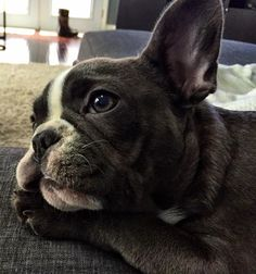 French Bulldog Puppy - Olive the Frenchie