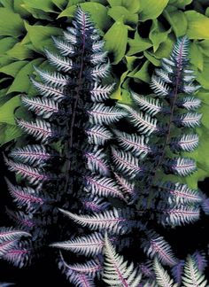 Athyrium niponicum 'Ursula's Red' (Japanese Painted Fern)