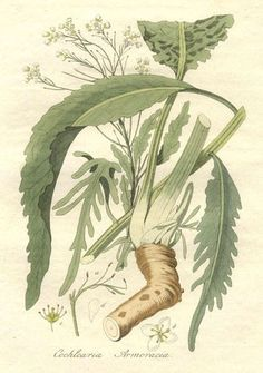 Growing Horseradish and a recipe for making it. Botanic illustration of Horseradish Horseradish Plant, Growing Horseradish, Tortoise Food, Wild Edibles, Edible Plants, Kraut, Botanical Prints, Garden Plants, Herb Garden