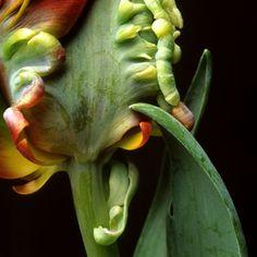 Harald Gach | Photographs Parrot Tulips, Blue Lace, Vienna, Photographs, Vegetables, Flowers, Plants, Photos, Vegetable Recipes