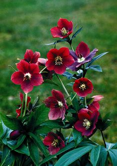 Buy lenten rose / hellebore Helleborus × hybridus 'Red Lady (Lady Series)': Delivery by Crocus.co.uk
