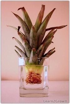 Grow your own pineapples!  Start your own pineapples....