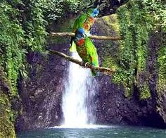 The Jacquot, the St. Lucian parrot. Only found here!