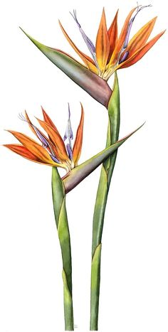 'Flor de ave del paraíso (Strelitzia reginae)' by Lynne Henderson Bird Of Paradise Tattoo, Birds Of Paradise Flower, Watercolor Art Paintings, Watercolor Bird, Tattoo Watercolor, Painting Tattoo, Botanical Drawings, Botanical Art, Illustration Blume