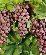 Delaware Grape (Vitis labrusca 'Delaware') - Monrovia - Delaware Grape (Vitis labrusca 'Delaware')