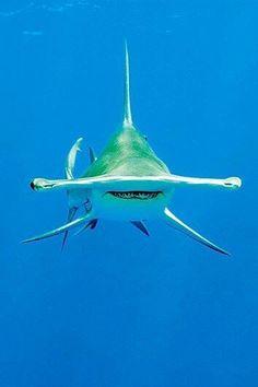 Hammerhead shark, the only schooling shark.