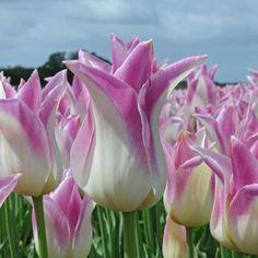 'Elegant Lady' ist eine sehr schöne spätblühende Tulpe. Pflanzzeit ist im Herbst - online erhältlich bei www.fluwel.de