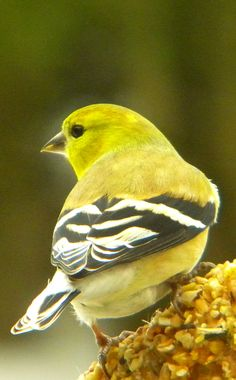 I see more house finches than goldfinches, but you can't miss this sunny bird when he's nearby!