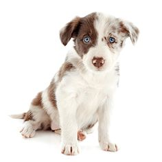 See only the cutest & most adorable pictures of border collie puppy dogs right here . More puppy pics are added almost daily for your enjoyment . Puppy Pictures, Cute Pictures, Cute Puppies, Dogs And Puppies, Border Collie Pictures, Border Collie Puppies, Puppy Breeds, Animals And Pets, Husky