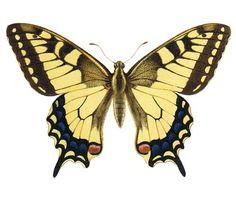 Bildresultat för Makaonfjäril