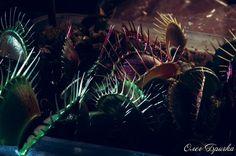 Dionaea muscipula. Венерина Мухоловка. Сорт B52