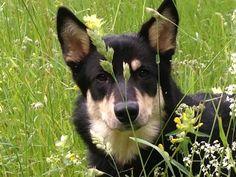 of storm valley puppy's Herding Dogs, Finland, Reindeer, Corgi, Puppies, Animals, Animales, Corgis, Animaux