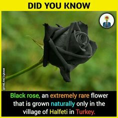 It,s nice but red rose ki bat hi alag hai ,🌹 True Interesting Facts, Some Amazing Facts, Interesting Facts About World, Intresting Facts, Unbelievable Facts, Amazing Science Facts, Amazing Pictures, Wierd Facts, Wow Facts