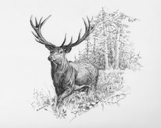 ''Red deer'', ink on paper, 17 X 24 cm ''Red deer'', ink on paper, 17 X 24 cm Bugs Bunny Drawing, Deer Drawing, Wildlife Quilts, Wildlife Art, Animal Sketches, Animal Drawings, Hirsch Tattoos, Hirsch Illustration, North American Animals