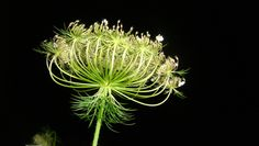 wild carrot or queen ann's lace