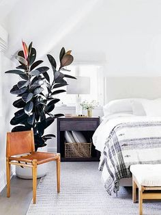 Love Fiddle Leaf Figs? Check Out Rubber Tree Plants!
