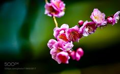 The red plum by gokawa0803