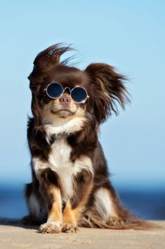 New dogs funny chihuahua pets Ideas Cute Baby Dogs, Cute Dogs And Puppies, Pet Dogs, Adorable Puppies, Rescue Dogs, Dog Poses, Chihuahua Puppies, Chihuahuas, Long Hair Chihuahua
