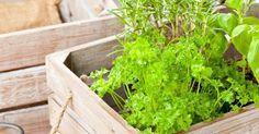 Самостоятельно вырастить зелень в домашних условиях довольно просто. Следуйте нашим советам – и ароматная свежесрезанная зелень будет на вашем столе круглый год.