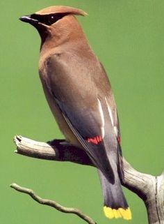 THE CEDAR WAXWING | Those Amazing Birds