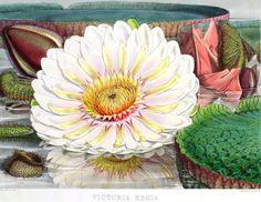 """Olímpia Reis Resque: A Vitória-Régia """"...Todos os viajantes descreveram a Vitória-régia, a sua formidável armadura de espinhos, suas folhas colossais e suas admiráveis flores, cuja coloração vai do branco aveludado através de todas as gradações do rosa, ate o púrpura escuro, para voltar, no  centro, a uma cor leitosa um tanto amarelada..."""". Texto em Luiz Agassiz (1807-1873); Elizabeth Cary Agassiz (1822-1907).  Viagem ao Brasil (1865-1866). 1938, p. 437-438). Ilustração: Walter Hood Fitch…"""