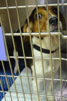 46213 Cell Dog Cooper is a 3 year Beagle mix who is in the cell program learning his basic commands. He is available at The Animal Shelter Society, Zanesville,OH.