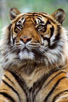 Tigre de Sumatra – Felinos em perigo | a causa Animais Fotos
