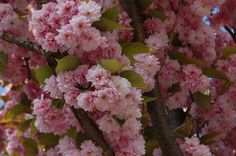 Prunus Serrulata Japanese Sakura Flowering Cherry Bonsai Tree
