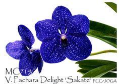 Vanda Pachara Delight 'Sakate' FCC/JOGA (Vanda Karaulea x Vanda Gordon Dillon)