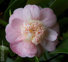 Camellia japonica 'Peter Pan' (U.S., 1947)